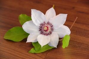 Clematisblüte weiss